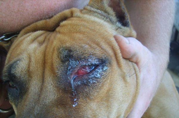 6 Dôvodov, prečo vašim psíkom hnisajú oči a ako sa majú liečiť doma