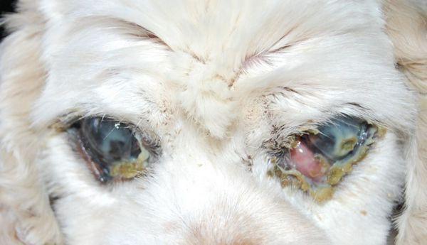 Гнійний кон`юнктивіт у собаки при сухому кератокон`юнктивіт