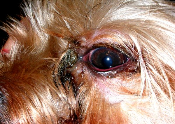 6 причин, чому у собаки гнояться очі і як лікувати в домашніх умовах