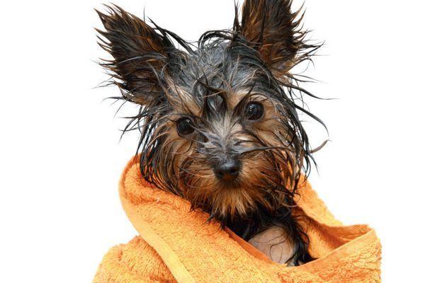 6 причин, чому у собаки вухо в червоне, болить і хлюпає