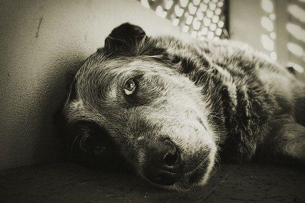 6 Znaky nevyhnutného. Poďme si povedať, ako sa psy správajú pred smrťou