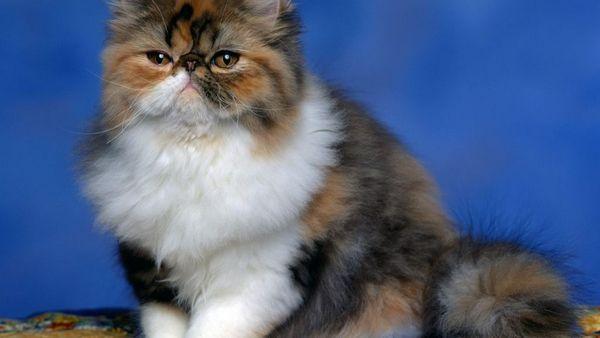 Перські кішки мають слабке здоров`я