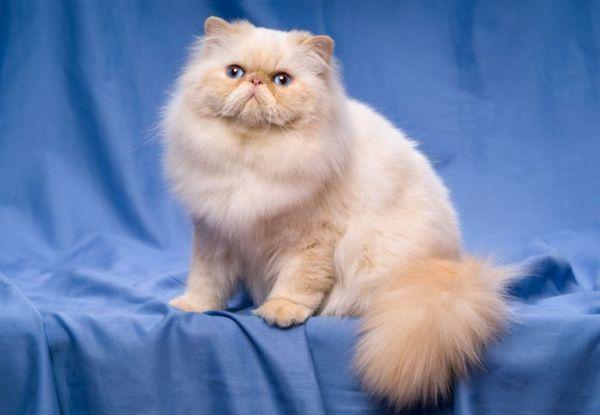 Стандартний вид перської кішки