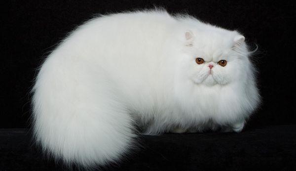 білий перс