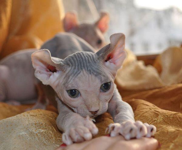 Кішка порода Ельф