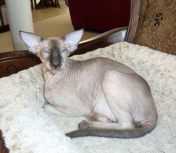 Лиса кішка порода Петерболд