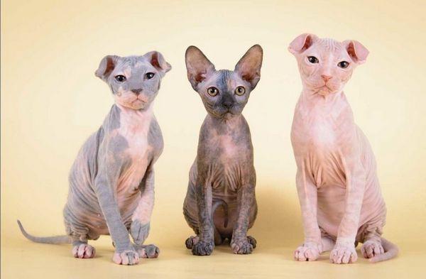Кішки породи Український Левком