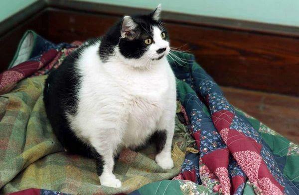 Найтовстіші коти у світі