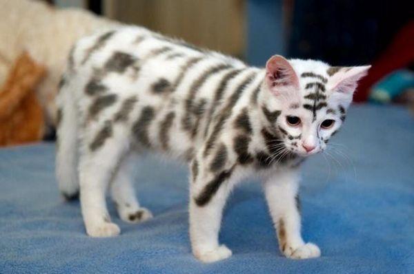 забарвлення котів