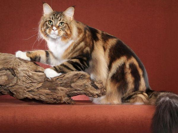 Існують три базових забарвлення кішки, інші кольори - це змішання генів