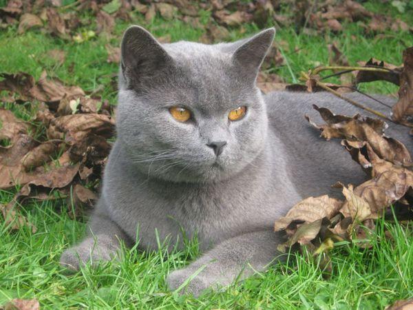 Кот суцільного забарвлення
