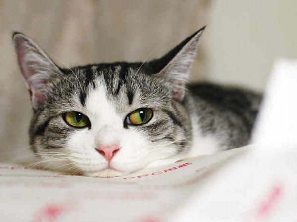 6 видів кормів для стерилізованих кішок