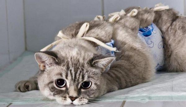Кішка після стерилізації
