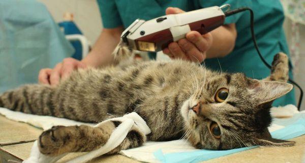 6 видів стерилізації котів і з якого віку можна робити