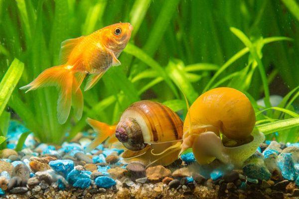 7 Кращих видів акваріумних равликів