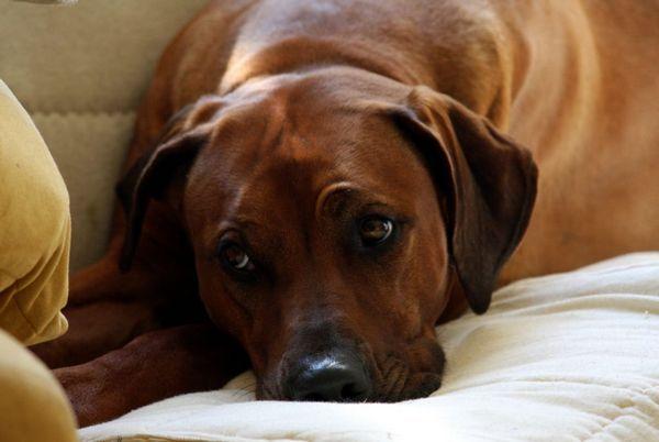 7 причин, чому у собаки відмовляють задні ноги і як вилікувати