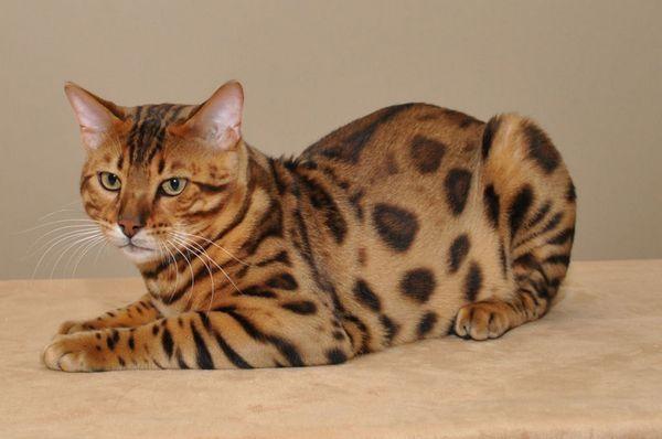 7 найпопулярніших порід плямистих кішок