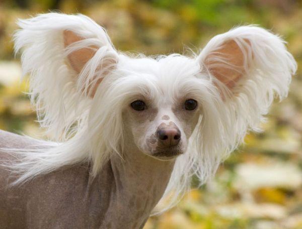 Найсмішніші породи собак