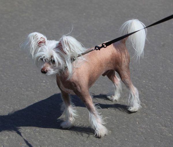 Китайська гола собачка