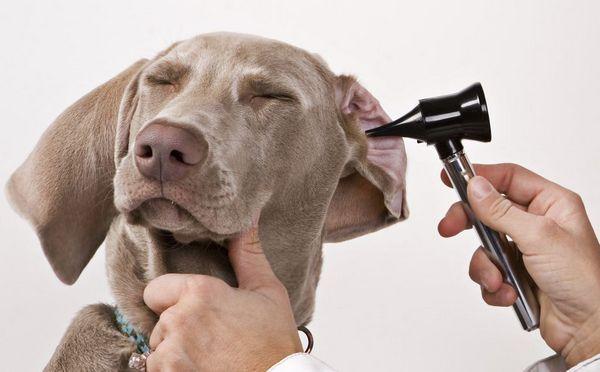 7 Typov chorôb uší u psov - popis a čo robiť