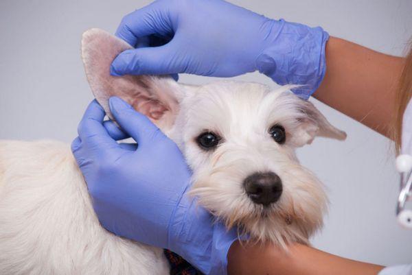 7 druhov chorôb uší u psov - popis a čo robiť