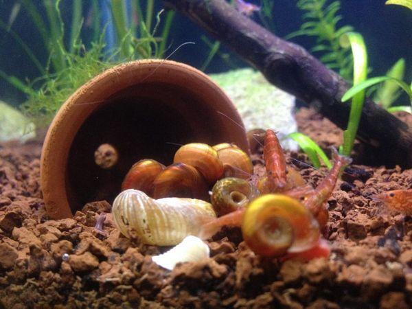 Як позбутися від равликів в акваріумі