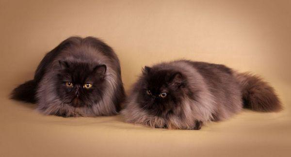 8 найкрасивіших порід сірих і димчастих котів і кішок