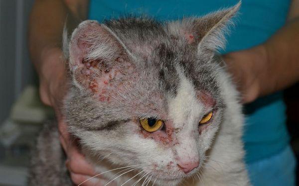 Міліарний дерматит у кішки