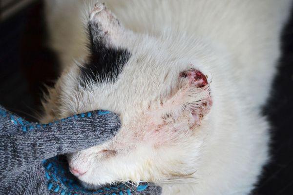 Плоскоклітинний рак шкіри у літній кішки
