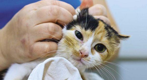 У кішок отит часто буває ускладненням отодектоза