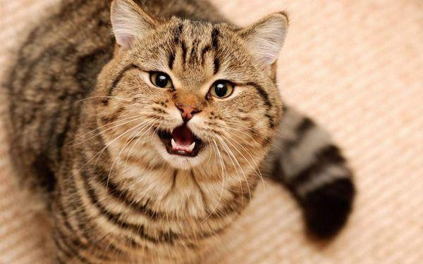 Кот нявкає