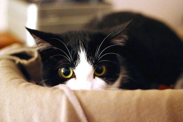 Відчуваючи страх, кішки видають звукові сигнали