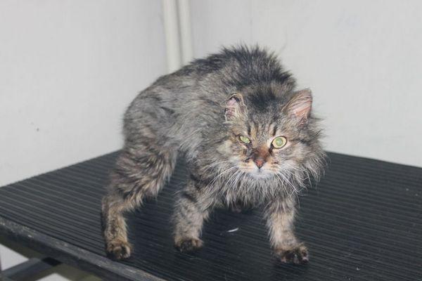 Кішка може постійно кричати при видимих пошкодженнях і травмах