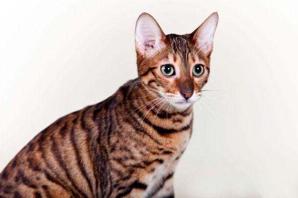 8 Populárnych plemien mačiek a mačiek