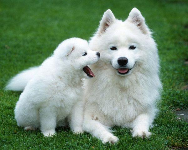 Білі пухнасті собаки
