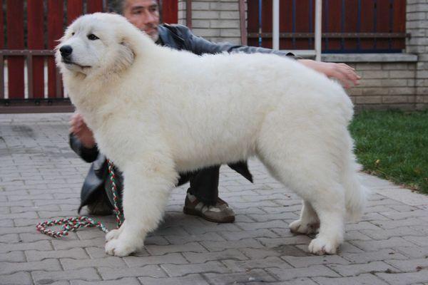 Піренейський гірський собака