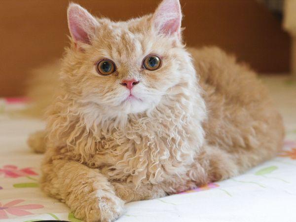 8 найпопулярніших порід кучерявого кішок