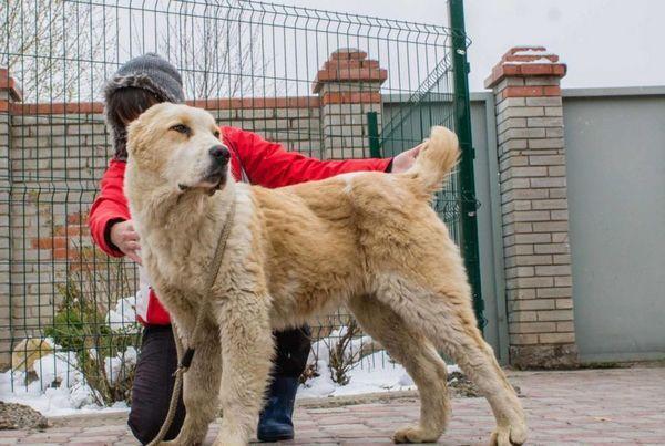 9 Plemien psov na stráženie súkromných domov a ktoré si zvoliť