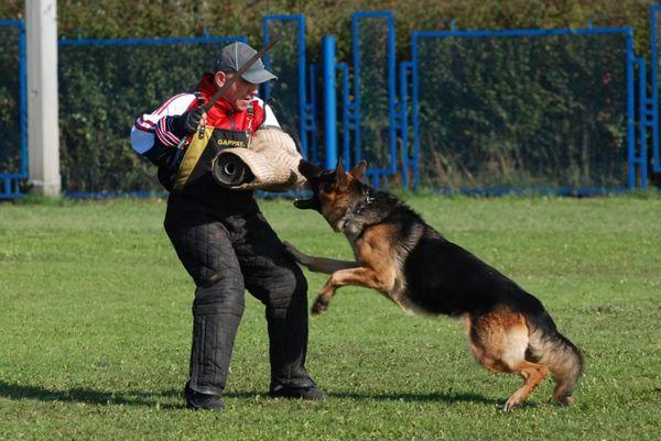 Важливо багато часу присвячувати дресируванню, щоб собака навіть в пориві люті слухалася свого господаря
