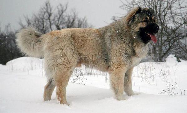 Кавказька вівчарка