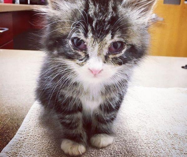 Відмова кошеня від їжі і пиття може говорити про наявність якого-небудь захворювання