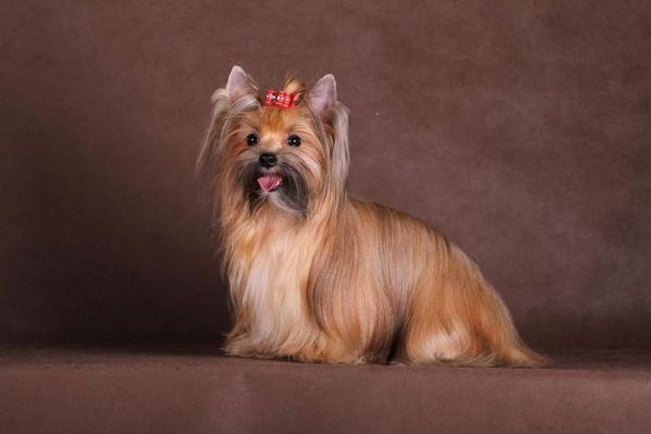 Ruský salónny pes