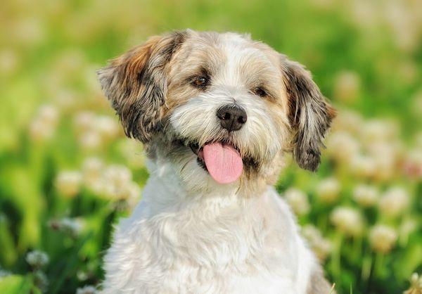 Ruský farebný psík