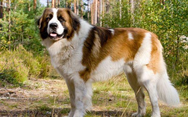 Moskovský strážny pes