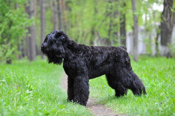 Čierny ruský teriér