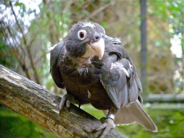 Великий папуга-ваза