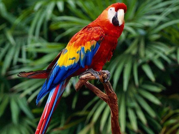 червоний ара