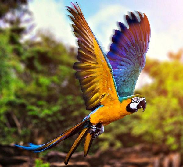 Синьо-жовтий ара