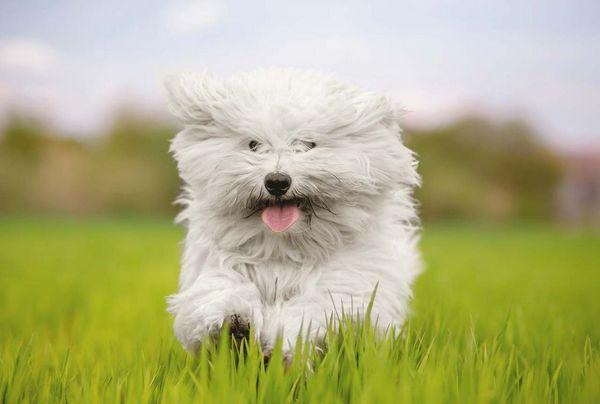 Пухнасті і кошлаті породи собак