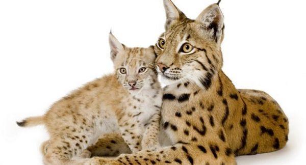 A v našom dome máme rysa: mačky divokého vzhľadu